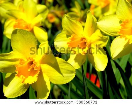 awesome beautiful daffodil...