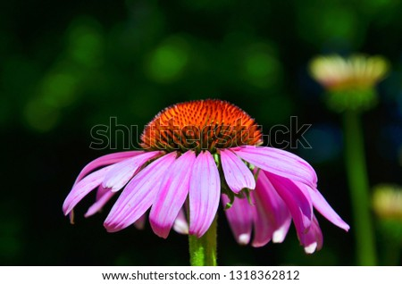 Awesome close up picture of Echinacea purpurea, known also as purple coneflower, with dark blurred background. The wonderful flower has purple leaves and spiny red center.