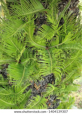 Awesome cluster of newly born shiny lush green leaves of a pine tree, India