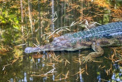 Awesome Gharial (Gavialis gangeticus), also knows as the gavial.