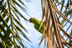 Awesome Green Parrot standing on some dry palm tree's leaves photographed from below  in Lanzarote, Canary Island, Spain