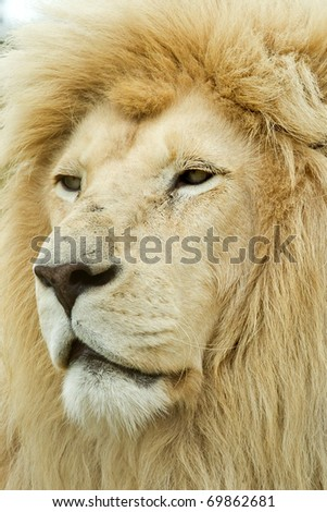 awesome large male white lion profile on a hot day in africa