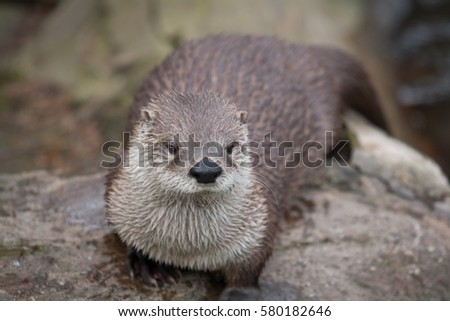 Awesome otter outdoor shot. Otter is typical species for many countries, otter could be found also in Zoo. Animal shot capturing otter.