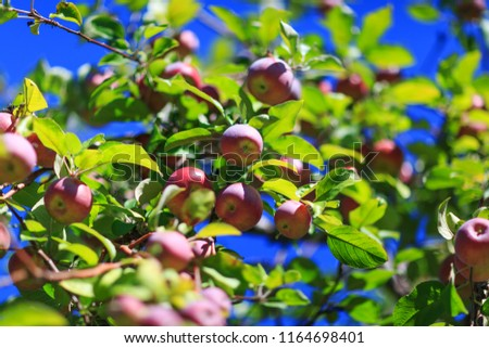 Awesome red organic apples hanging from a tree branch in an autumn apple orchard. Great picture of ripe apples in farmer meadow ready for harvesting. Conceptual picture for organic fruits.