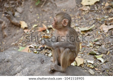 Awesome snap of small kid monkey that sitting on a stone & keep busy himself by doing small activity like eating some food, see around him.  #1041518905