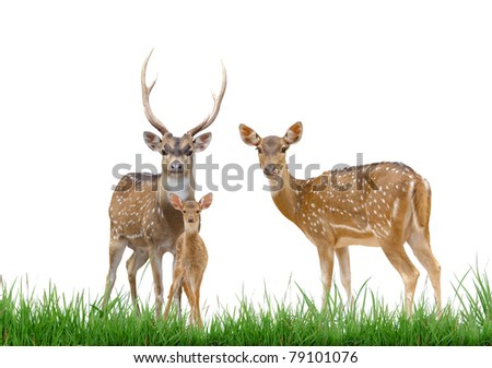 axis deer family with green grass isolated on white background
