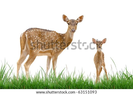 axis deer isolated with grass