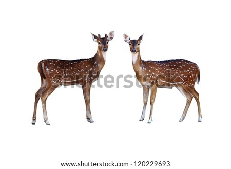Axis deer on a white background.