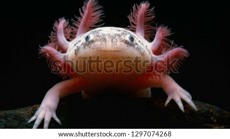 Axolotl (Ambystoma mexicanum) from front. Salamander black background