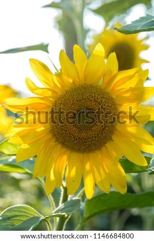 ayçekirdegi bahçesi ve çekirdek Stok fotoğraf ©