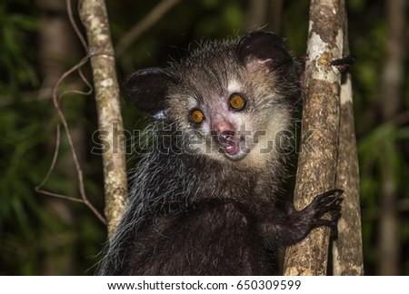 Shutterstock Aye-aye, nocturnal lemur of Madagascar