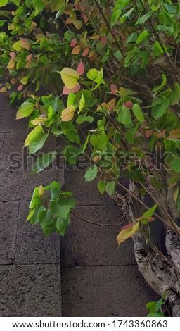 Ayurvedic sacred fig tree with yellow green foliage Stock foto ©