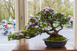 Azalea and pot Bonsai combination in training in Northern Ireland and on display at the Belfast spring festival at Barnetts Demesne in April 2018