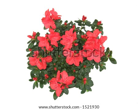 Azalea flower in a pot isolated on white