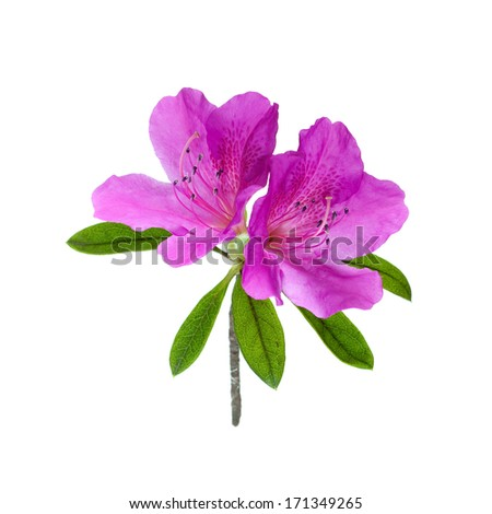 azalea flower isolated on white