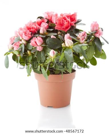 azalea flower isolated on white #48567172