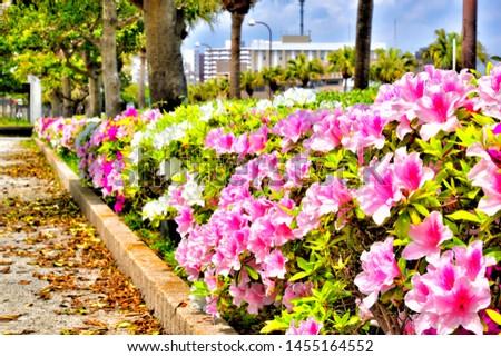 Azalea flowers on the sidewalk. #1455164552