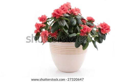 Azalea Indica in flower pot isolated on white background #27320647