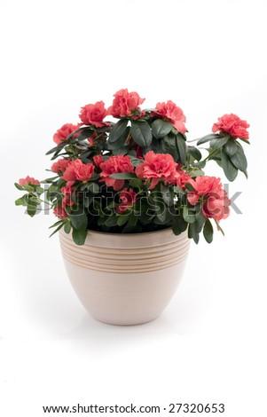 Azalea Indica in flower pot isolated on white background #27320653