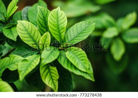 azalea leaves and bud. the buds ...