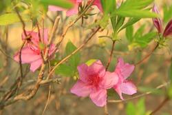 Azalea of Iris Garden in Seoul.