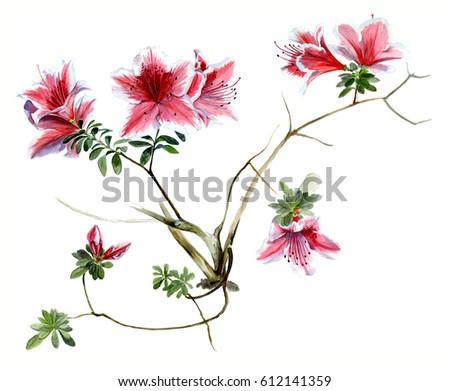 Azalea pink, flowering branches watercolor sketch