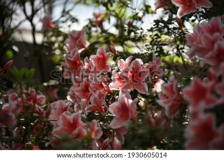 Azalea, Rhododendron Mevrouw Gerard Kint, sport Rhododendron Manni Lachs grows and blooms in winter in the greenhouse Stock fotó ©