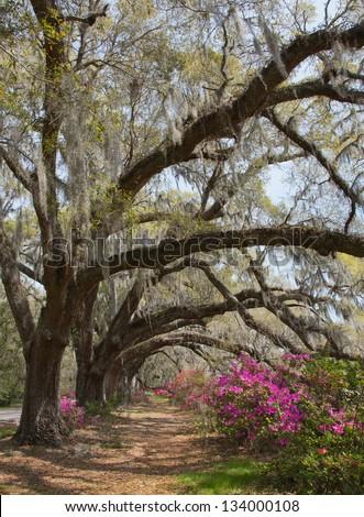 Azaleas and live oaks at the Magnolia Plantation in Charleston, SC
