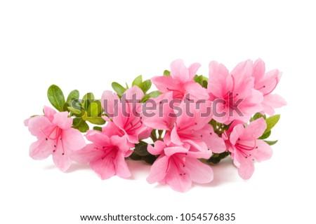 azaleas flowers  isolated on white background