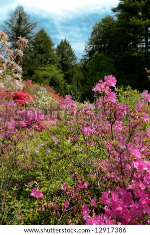 Azeleas's in the foreground lead to a scenic forest setting in North Carolina - stock photo