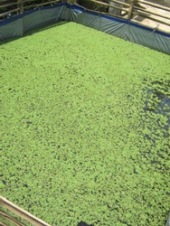 Azolla microphylla: Natural feed for freshwater fish such as tilapia fish, carp, catfish, and also as feed for ducks and chickens