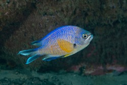 Azores chromis, Atlantic chromis or Atlantic Damselfish (Chromis limbata) Azores Islands, Portugal
