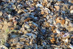 Azov Sea beach covered with a thick layer of shells and mollusks, Henicheska Girka, Ukraine