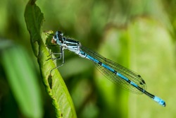 Azure Blue Damselfly insect resting on a leaf in a springtime summer meadow a species similar to dragonfly stock photo