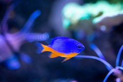 Azure Damselfish (Chrysiptera hemicyanea) on a reef tank with blurred background