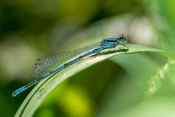 Azure Damselfly, Coenagrion puella a common blue male insect species similar to dragonfly resting on a grass reed stock photo image