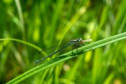 Azure Damselfly (Coenagrion puella) a common flying blue female insect similar to a dragonfly
