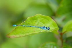 Azure Damselfly - Coenagrion puella, common blue damselfly from European fresh waters, Stramberk, Czech Republic.