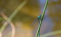 Azure damselfly (Coenagrion puella) is a species of damselfly.  Male Odonata with black and blue colouring. Male insect species similar to dragonfly resting near a pond.