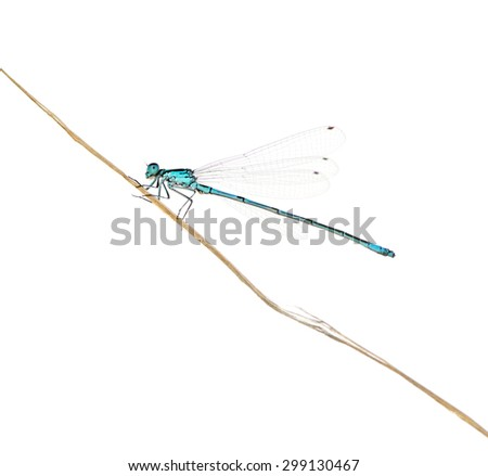 Azure damselfly on a twig in front of a white background #299130467