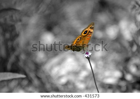 B & W butterfly isolation - stock photo