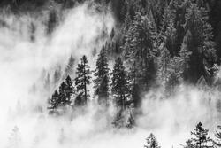 B&W Fog Trees