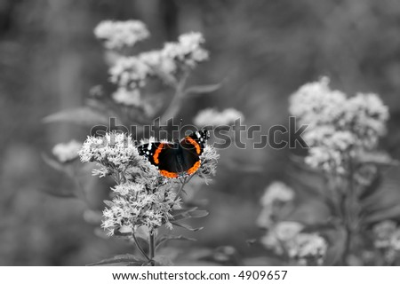 B&W image of beautiful BUTTERFLY in colour sitting on flower ready to take off