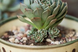 Babies grow on mother plant. Hen and Chicks succulent with offsets or pups growing under the healthy mature plant. Closeup on the offshoots of plant in pot and outdoor background.