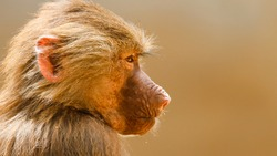 Baboon close profile portrait. Young baboon monkey (Pavian, Papio hamadryas) observing staring and vigilant looking with brown bokeh background out of focus. Monkey primate wildlife picture.