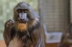 Baboon eating a stick and looking at me inside its cage at the zoo