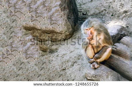 Baboon in sadness. Sad baboon sitting and thinking. Sad baboon. Baboon portrait