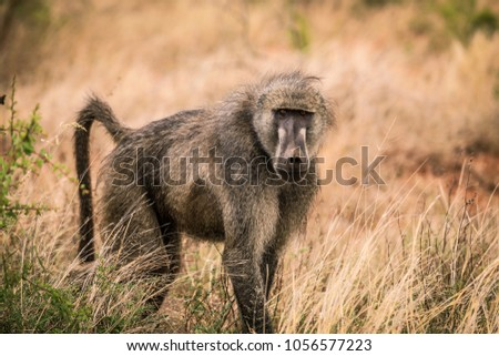 Baboon in the Bush, Safari in Africa