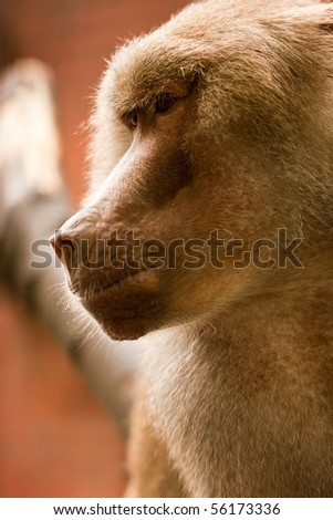 Baboon in the zoo