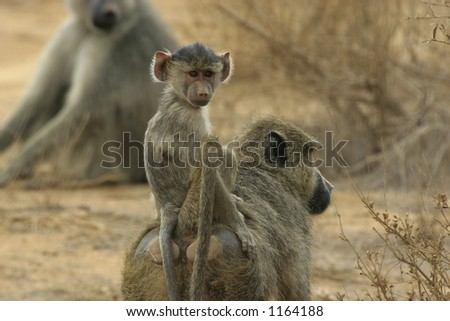 baboon infant riding on mothers back